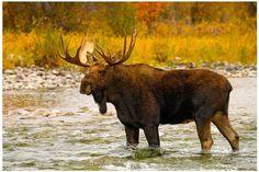 Reflective Art Aqua Moose Canvas Wall Art