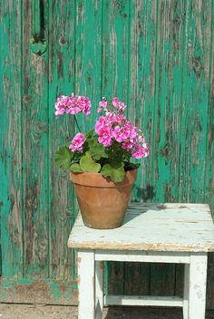 Chippy Paint + pink geraniums + terracotta pot = Happiness :-)))