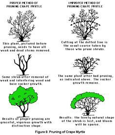 Pruning crape myrtle. (click in image to see full-size image.)