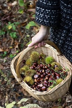 day in the woods to pick up chestnuts (autumn) Harvest Time, Fall Harvest, Mabon, Autumn Day, Autumn Leaves, Autumn Inspiration, Fall Season, Four Seasons, Farm Life