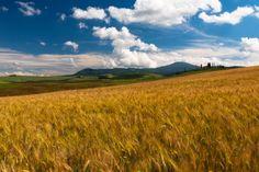 Golden fields - null