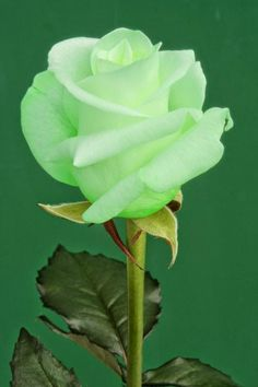 The Green Rose. This is Gorgeous.