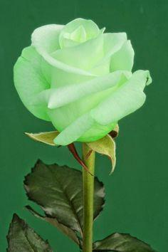 La Rosa Verde. Esto es Magnífico.