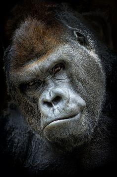 Gorilla by JesusMartinMirelis
