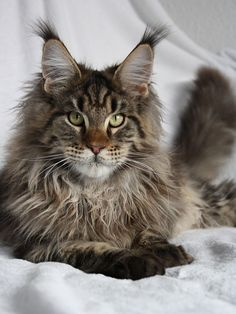 Maine Coon of Superbia - Suberbias Boys - Feldcundigons Las Vegas http://www.mainecoonguide.com/maine-coon-personality-traits/