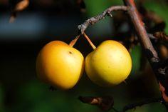 Yellow Apple 2015