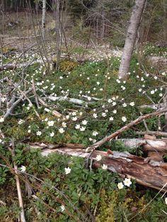 Hvitveis i skogen  City Photo, Spring, Nature, Naturaleza, Nature Illustration, Off Grid, Natural