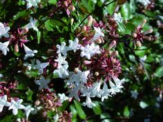 I piccoli fiori bianchi caratteristici dell'abelia grandiflora