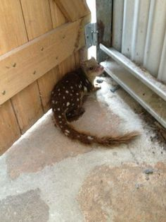 A young little spotted tailed quoll (threatened species) came to visit one morning.