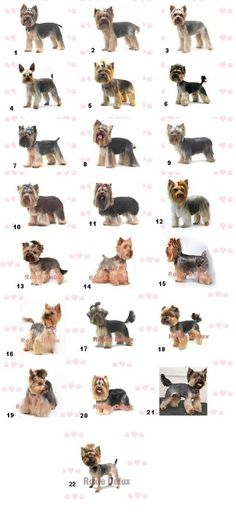 Yorkie Haircuts.Re-Pinned by: https://www.facebook.com/homebazaarllc