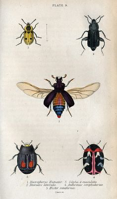 Jardine's Beetles Plate 9 by dd21207, via Flickr