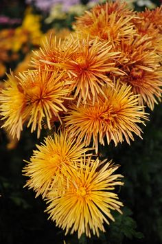 Chrysanthemum of the Nikitsky Botanical Gardens
