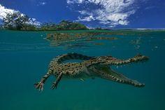 The Salt Water Crocodile by Sergio Riccardo
