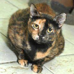 Cleo-Adoptable-Cat