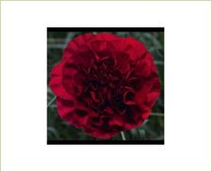 Katio - Standard Carnation - Carnations - Flowers by category | Sierra Flower Finder