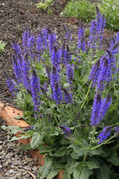Salvia x sylvestris 'Mainacht' (May Night) | Lambley Nursery