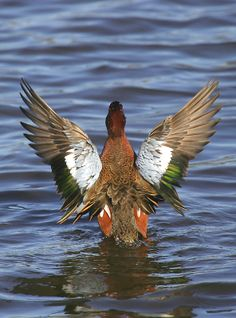 Cinnamon Teal male Duck Art, Duck Duck, Waterfowl Hunting, Duck Hunting, Teal Duck, Color Pencil Art, Bird Pictures, Beautiful Birds, Ducks