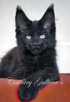 Beautiful black Maine Coon kitten.