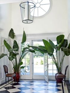 Indoor palms. Like the idea of 2 banana plants flanking dining room window. Adds softness and life.