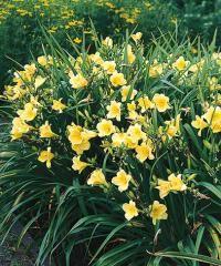"""Common nameDaylilyBotanical nameHemerocallis VarietyHappy ReturnsZoneUSDA Zone 3 (-40°F) to USDA Zone 9 (20°F).ColorYellowLightsunHeight16-18"""" (41-46 cm)HabitclumpingWaterweekly during dry spellsFeeduse all-purposeMaintenanceremove spent blooms"""