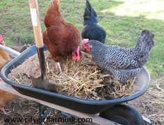 20+ reasons to have chickens