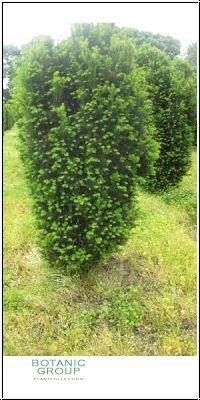 Taxus Erecta