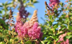 Spiraea (Filipéndula) decreases pain due to its profound analgesic and anti-inflammatory effects. It is a traditional remedy for prostatitis health.