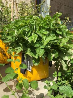 Summer is almost over, but you can still enjoy fresh vegetables and fruits with the Green Bag! Big Garden, Green Garden, Herb Garden, Healthy Vegetables, Fresh Vegetables, Fresh Herbs, Urban Planters, Yellow Plants, Strawberry Plants