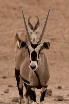 Gemsbok Oryx gazella & springbok photographed in the wild at Houmoed, Kgalagadi Transfrontier Park © Gerda van Schalkwyk 2013-03 via gerdavs @Tony Wang 8570624471