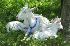 How much does it cost to raise dairy goats? Good article #BabyGoatFarm