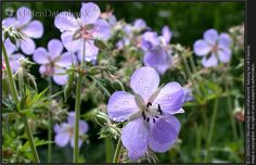 Wiesenstorchschnabel Geranium pratense Blüten im Gegenlicht mit Wassertropfen