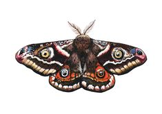 Illustration of Emperor Moth Saturnia pavonia Mandala Tattoo Sleeve, Moth Tattoo, Butterfly Painting, Butterfly Watercolor, Cecropia Moth, Emperor Moth, Moth Drawing, Textile Sculpture, Editing Pictures