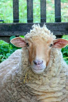 Country Living ~ the pocket sheep love them, thy aren't food