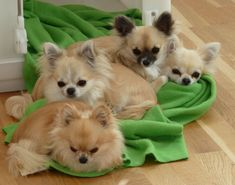 long coat chihuahuas | Pocoperro Chihuahuas | (Long Coat Chihuahuas)