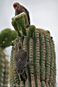 Woodpecker patiently waiting for turn in the Saguaro cactus flower Exotic Birds, Colorful Birds, Cacti And Succulents, Cactus Plants, Arizona Birds, Cactus Flower, Flower Bookey, Flower Film, Flower Pots