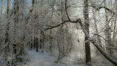 Snow covered trees, Ingå,  Finland.