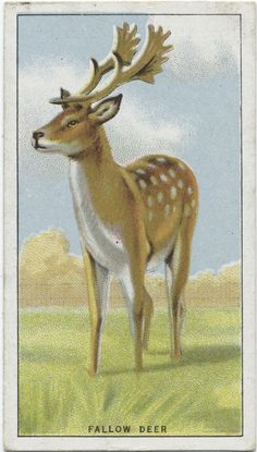Fallow Deer. From New York Public Library Digital Collections.