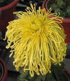Chrysanthemum morifolium 'Gentleman'