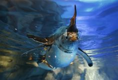 A penguin swims at the new launch Polar Adventure at the Ocean Park, a tourist attraction in Hong Kong. http://mynorthwest.com/129/705683/The-day-in-photos?nid=129=705683=1#