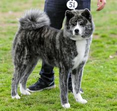 Blue/Silver Brindle Akita. Must have.