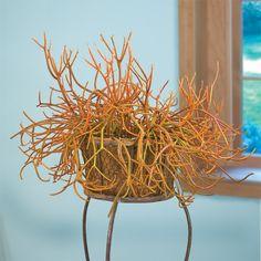 Pencil Cactus 'Firesticks' (Euphorbia tirucalli)
