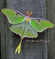 Green Luna Moth on Wood 5x5 Photograph by heidirainville on Etsy