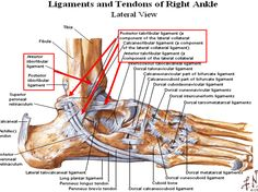 Ankle Tendon Diagram Ankle Ligament Anatomy Choice Image – Human Anatomy Learning