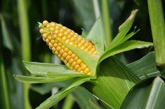 Sagarpa va por la reconversión a maíz amarillo | Panorama AGROPECUARIO