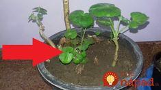 Chcete, aby boli vaše muškáty krásne celé mesiace? Stačí, ak viete, čo na ne platí. Terrarium, Gardening, Plants, Decor, Balconies, Terrariums, Decoration, Garten, Lawn And Garden