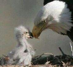 Bald Eagle – Lee's Birdwatching Adventures Plus Eagle Pictures, Bird Pictures, Birds Pics, Eagle Images, Baby Bald Eagle, Baby Animals, Cute Animals, Eagle Nest, Eagle Bird