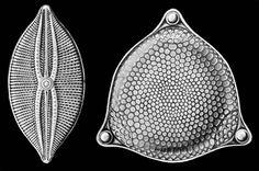 Diatomeas-Haeckel - Frústula - Wikipedia, la enciclopedia libre