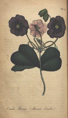 https://flic.kr/p/bVgKTD | n260_w1150 | The illustrated botany :. New York :J.K. Wellman,1846-1847.. biodiversitylibrary.org/page/39675790