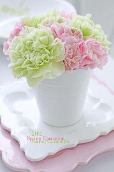 Beauty Carnation