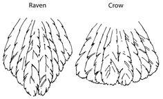 A crow's tail is shaped like a fan, while a raven's is more of a wedge, from: http://naturemappingfoundation.org/natmap/images/drawings/raven_vs_crow_tail_feathers_wdfw.jpg